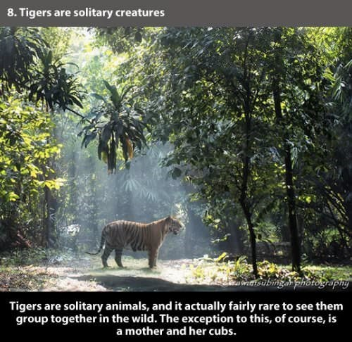 Wildlife - 8. Tigers are solitary creatures tsabinga photography Tigers are solitary animals, and it actually fairly rare to see them group together in the wild. The exception to this, of course, is a mother and her cubs.