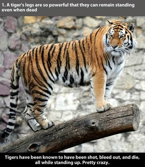 Tiger - 1. A tiger's legs are so powerful that they can remain standing even when dead Tigers have been known to have been shot, bleed out, and die, all while standing up. Pretty crazy ்