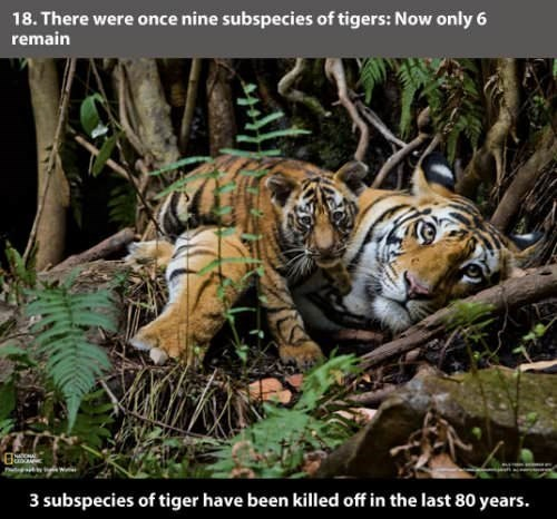 Tiger - 18. There were once nine subspecies of tigers: Now only 6 remain 3 subspecies of tiger have been killed off in the last 80 years