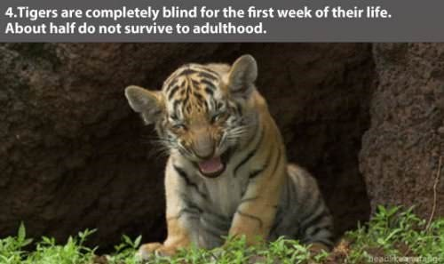 Vertebrate - 4.Tigers are completely blind for the first week of their life. About half do not survive to adulthood. head