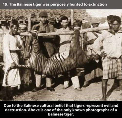 Organism - 19. The Balinese tiger was purposely hunted to extinction Due to the Balinese cultural belief that tigers represent evil and destruction. Above is one of the only known photographs of a Balinese tiger