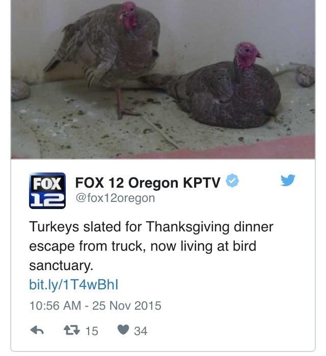 Bird - FOX FOX 12 Oregon KPTV 12@fox12oregon Turkeys slated for Thanksgiving dinner escape from truck, now living at bird sanctuary bit.ly/1T4wBhl 10:56 AM - 25 Nov 2015 t15 34