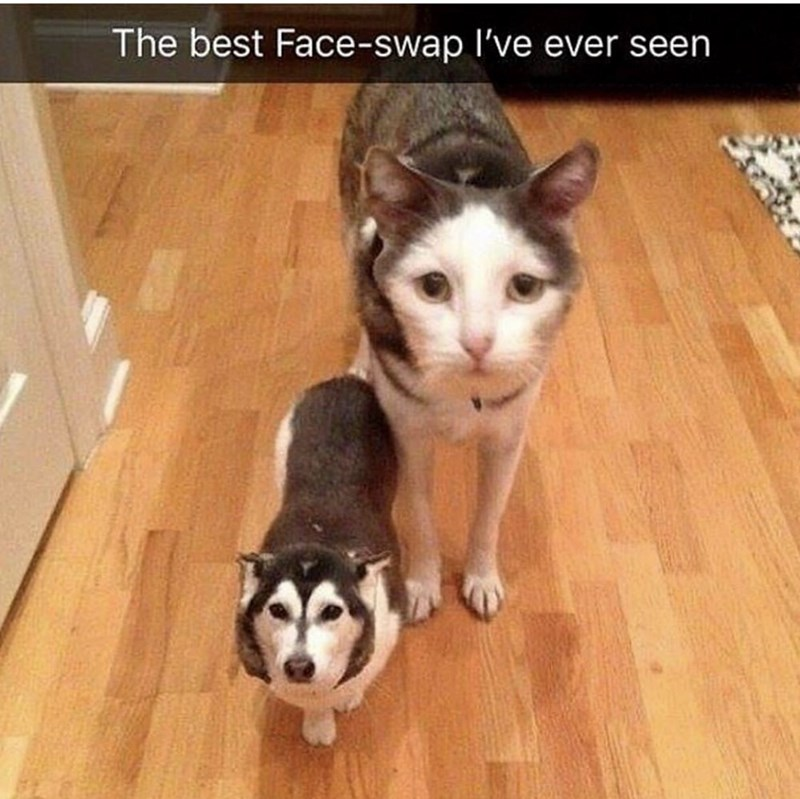 Siberian husky - The best Face-swap I've ever seen