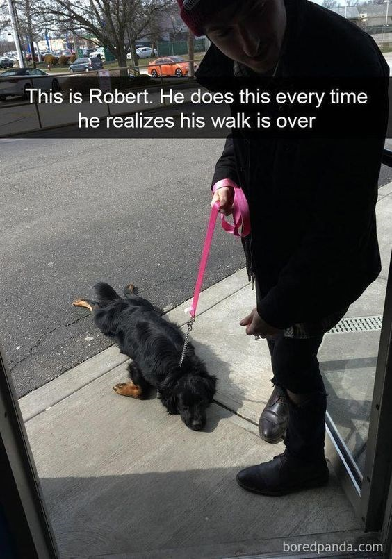 Dog - This is Robert. He does this every time he realizes his walk is over boredpanda.com
