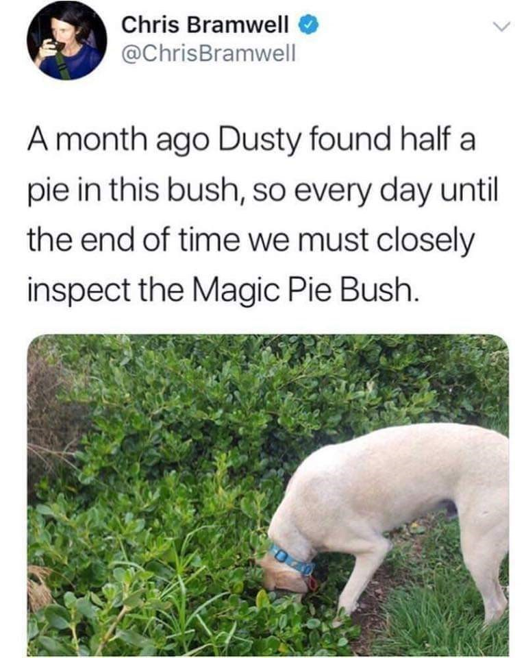 Dog breed - Chris Bramwell @ChrisBramwell A month ago Dusty found half a pie in this bush, so every day until the end of time we must closely inspect the Magic Pie Bush