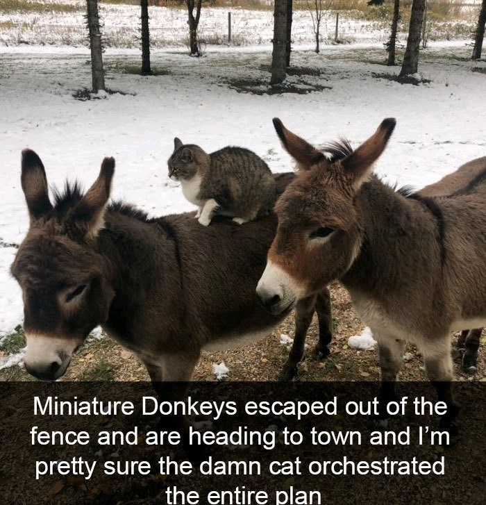 Mammal - Miniature Donkeys escaped out of the fence and are heading to town and I'm pretty sure the damn cat orchestrated the entire plan