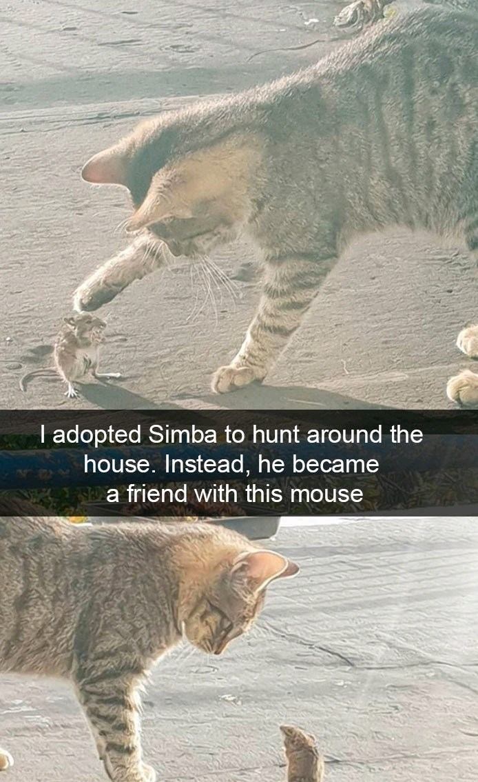 Cat - T adopted Simba to hunt around the house. Instead, he became a friend with this mouse