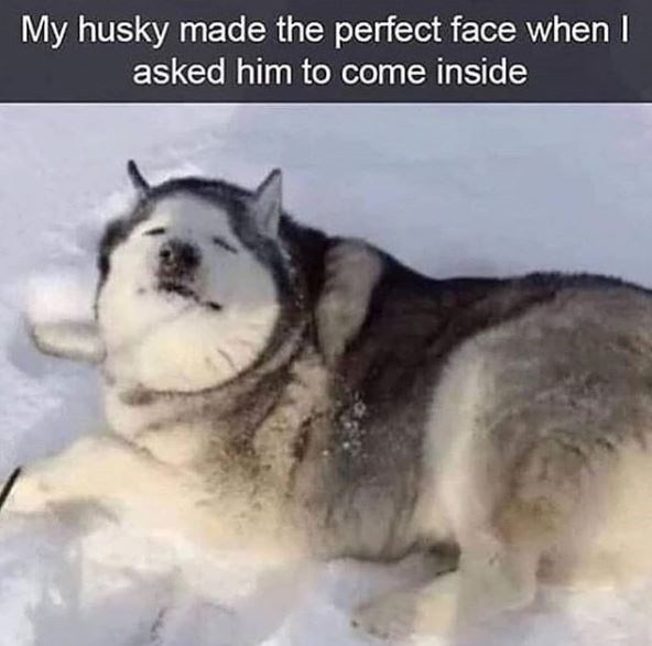 Siberian husky - My husky made the perfect face when I asked him to come inside