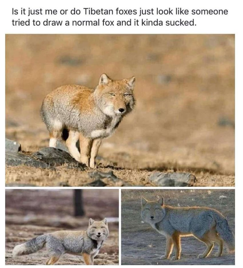 Mammal - Is it just me or do Tibetan foxes just look like someone tried to draw a normal fox and it kinda sucked.