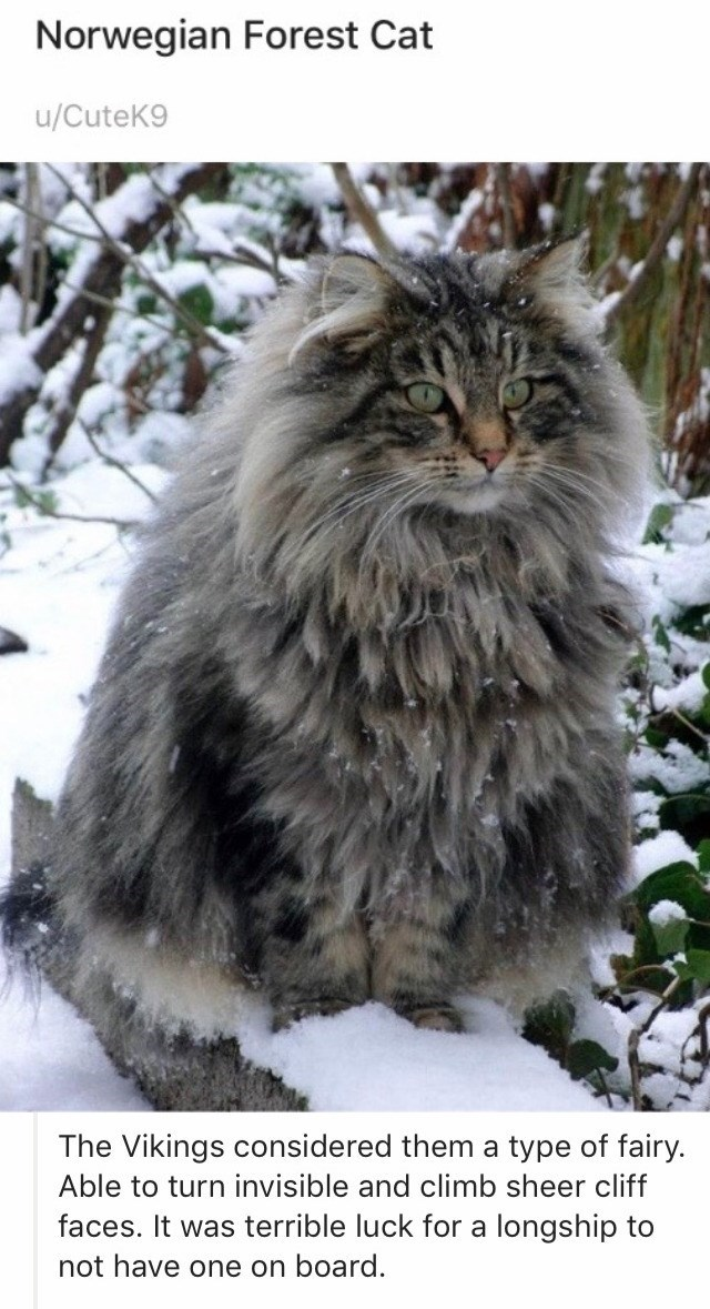 Cat - Norwegian Forest Cat u/CuteK9 The Vikings considered them a type of fairy. Able to turn invisible and climb sheer cliff faces. It was terrible luck for a longship to not have one on board.