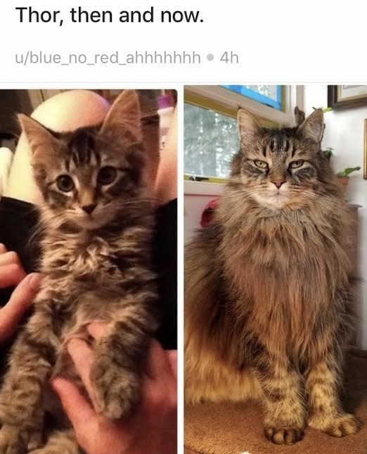 Cat - Thor, then and now. u/blue_no_red_ahhhhhhh 4h