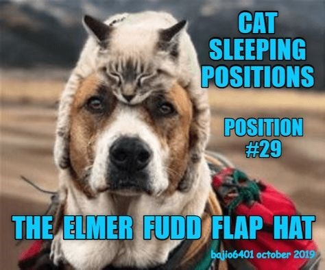 Dog - CAT SLEEPING POSITIONS POSITION #29 THE ELMER FUDD FLAP HAT bajio6401 october 2019