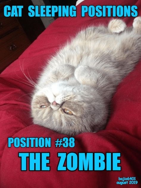 Cat - CAT SLEEPING POSITIONS POSITION #38 THE ZOMBIE bajio6401 august 2019