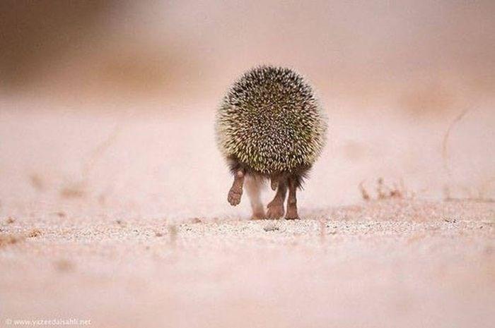 Hedgehog - Enet