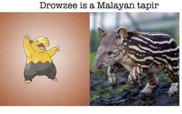 Organism - Drowzee is a Malayan tapir