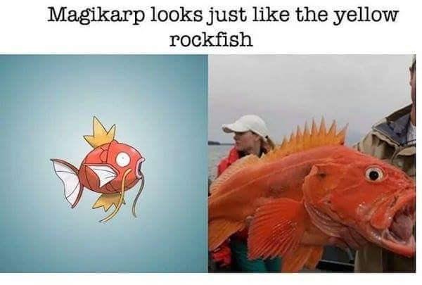 Organism - Magikarp looks just like the yellow rockfish