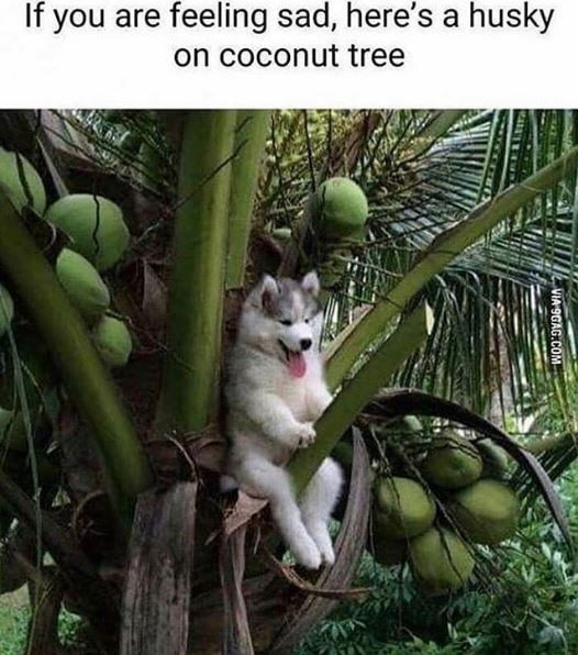Cat - If you are feeling sad, here's a husky on coconut tree VIA 9GAG.COM
