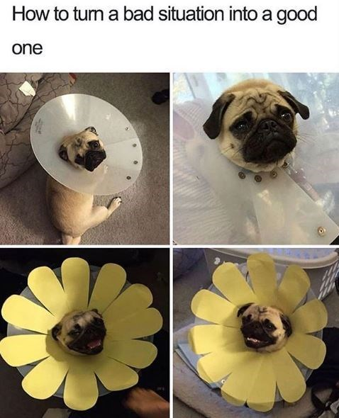 Pug - How to tum a bad situation into a good one