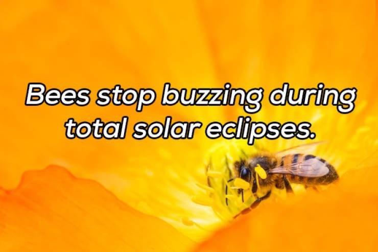 Honeybee - Bees stop buzzing during total solar eclipses.