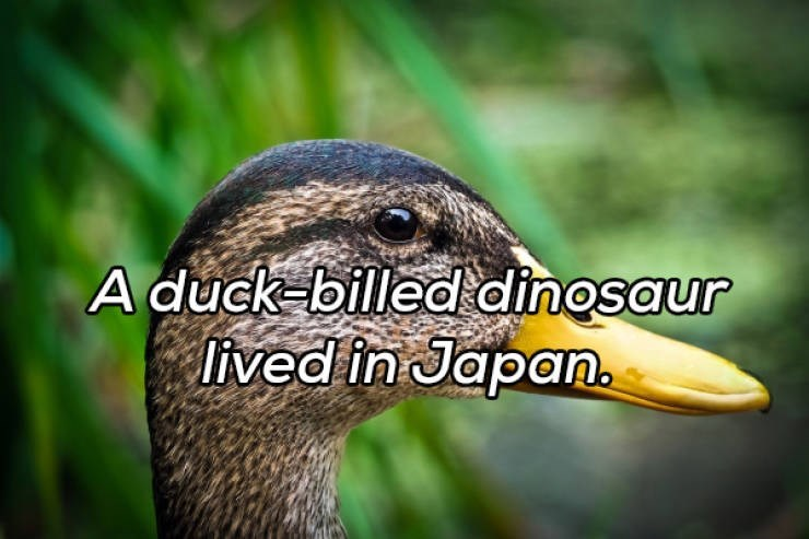 Duck - A duck-billed dinosaur lived in Japan