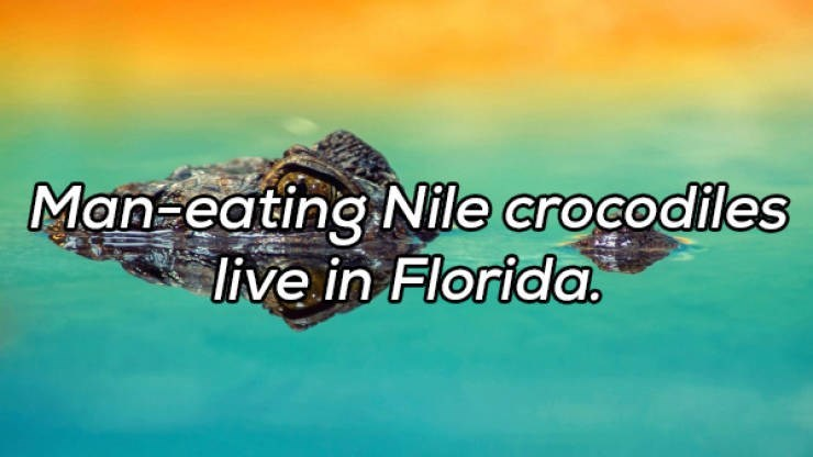 Water - Man-eating Nile crocodiles live in Florida.