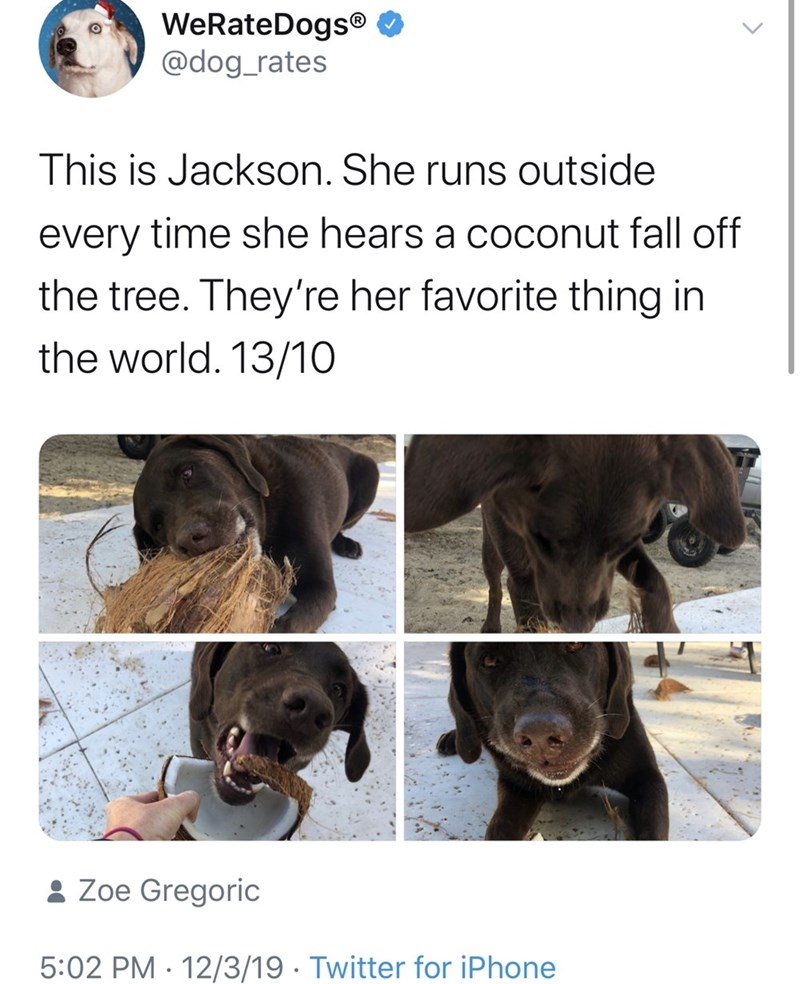 Canidae - WeRateDogs® O @dog_rates This is Jackson. She runs outside every time she hears a coconut fall off the tree. They're her favorite thing in the world. 13/10 : Zoe Gregoric 5:02 PM · 12/3/19 · Twitter for iPhone