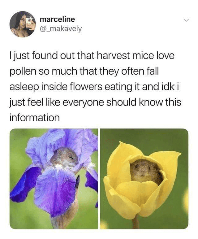 Text - Flower - marceline @_makavely I just found out that harvest mice love pollen so much that they often fall asleep inside flowers eating it and idk i just feel like everyone should know this information