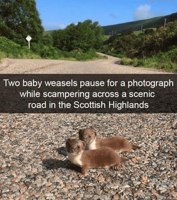 Adaptation - Two baby weasels pause for a photograph while scampering across a scenic road in the Scottish Highlands