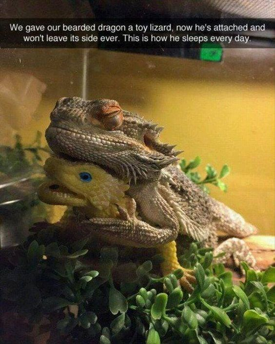 Iguania - We gave our bearded dragon a toy lizard, now he's attached and won't leave its side ever. This is how he sleeps every day.