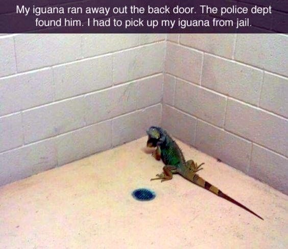 Lizard - My iguana ran away out the back door. The police dept found him. I had to pick up my iguana from jail.