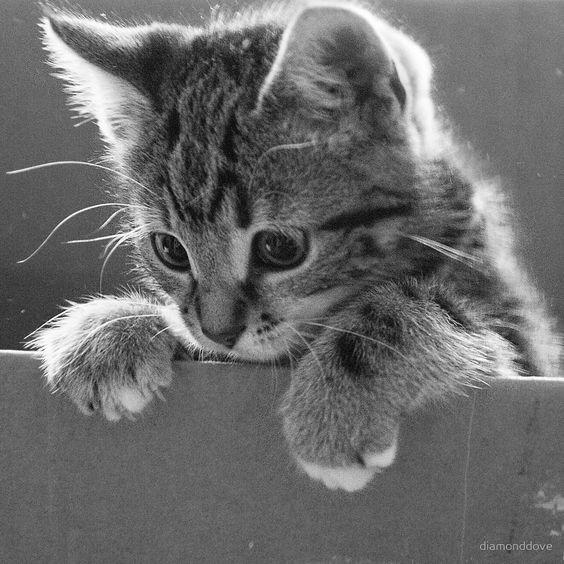 Cat - diamonddove