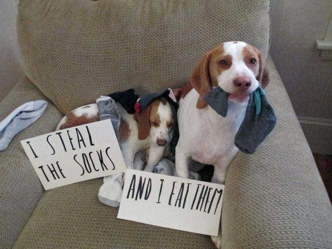 Dog - I STEAL THE SOCKS AND I EAT INITT