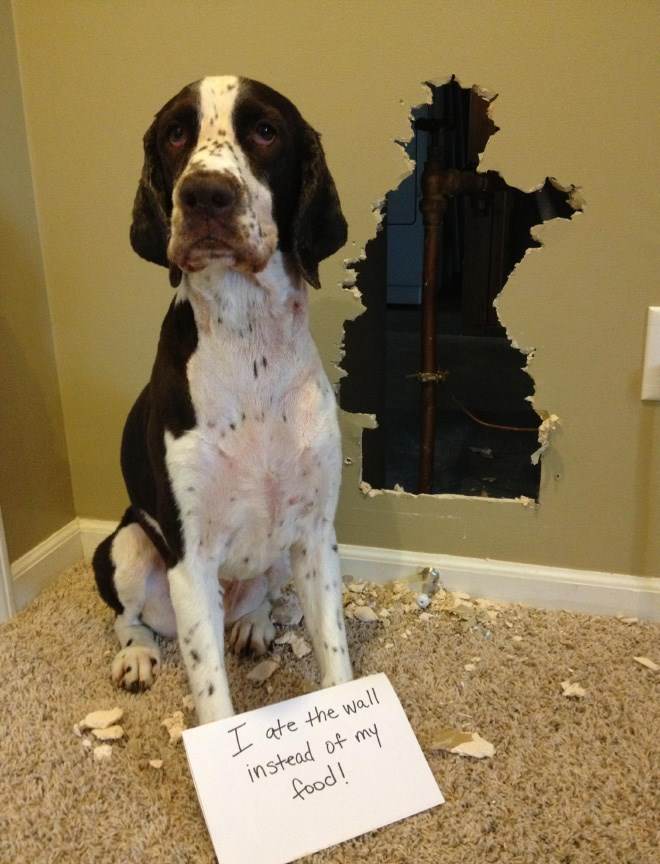 Dog - I ate the wall instead of my food!