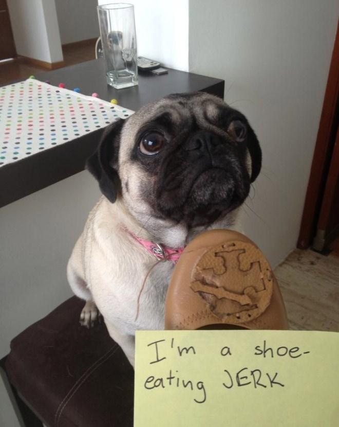 Dog - I'm shoe- eating JERK