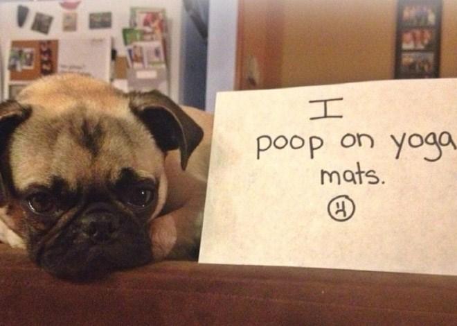 Dog - poop on yoga mats.