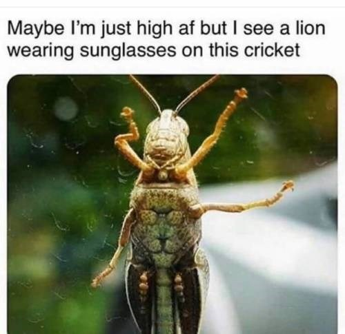 Insect - Maybe l'm just high af but I see a lion wearing sunglasses on this cricket