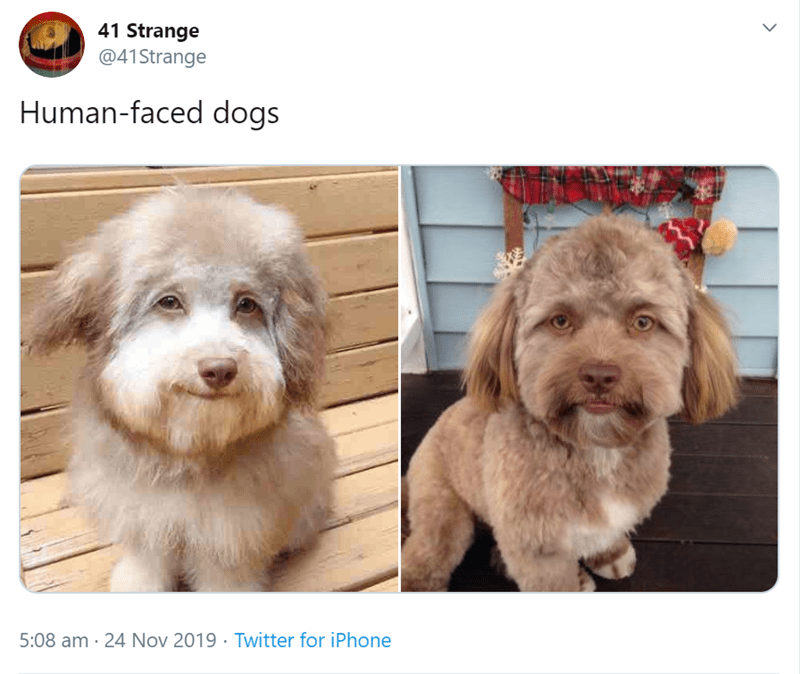Dog - 41 Strange @41Strange Human-faced dogs 5:08 am · 24 Nov 2019 · Twitter for iPhone