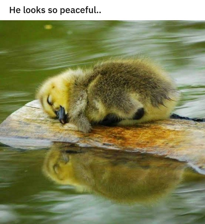 aww duckling cute sleeping - 9402500608