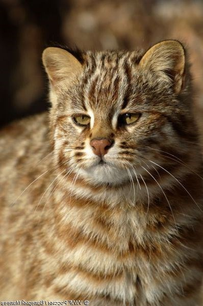 Cat - asenelM NNgensal INNO204 W O