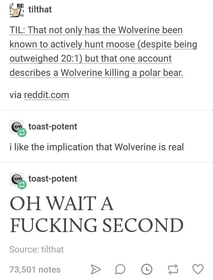 Text - RE tilthat TIL TIL: That not only has the Wolverine been known to actively hunt moose (despite being outweighed 20:1) but that one account describes a Wolverine killing a polar bear. via reddit.com toast-potent i like the implication that Wolverine is real toast-potent OH WAIT A FUCKING SECOND Source: tilthat 73,501 notes