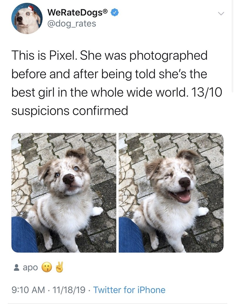 Dog - WeRateDogs® O @dog_rates This is Pixel. She was photographed before and after being told she's the best girl in the whole wide world. 13/10 suspicions confirmed : apo 9:10 AM · 11/18/19 · Twitter for iPhone