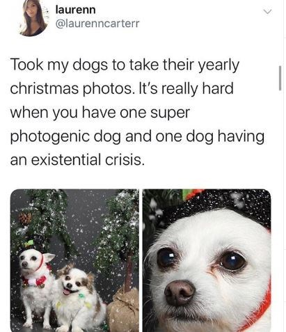 Vertebrate - laurenn @laurenncarterr Took my dogs to take their yearly christmas photos. It's really hard when you have one super photogenic dog and one dog having an existential crisis.