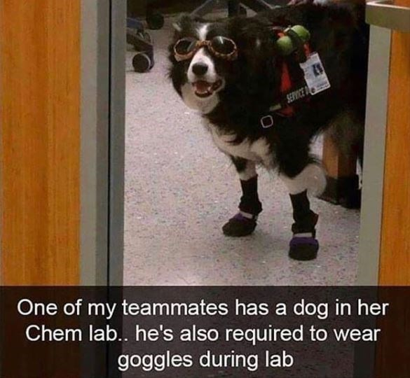 Canidae - SERVICE D One of my teammates has a dog in her Chem lab.. he's also required to wear goggles during lab