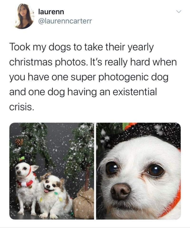 Canidae - laurenn @laurenncarterr Took my dogs to take their yearly christmas photos. It's really hard when you have one super photogenic dog and one dog having an existential crisis.
