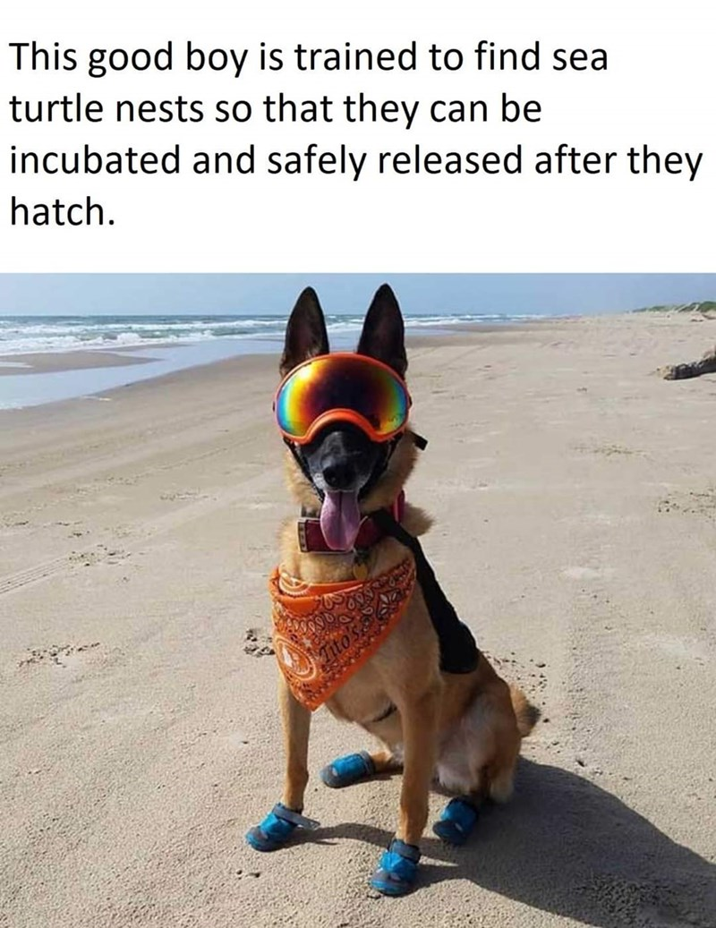 Dog - This good boy is trained to find sea turtle nests so that they can be incubated and safely released after they hatch.