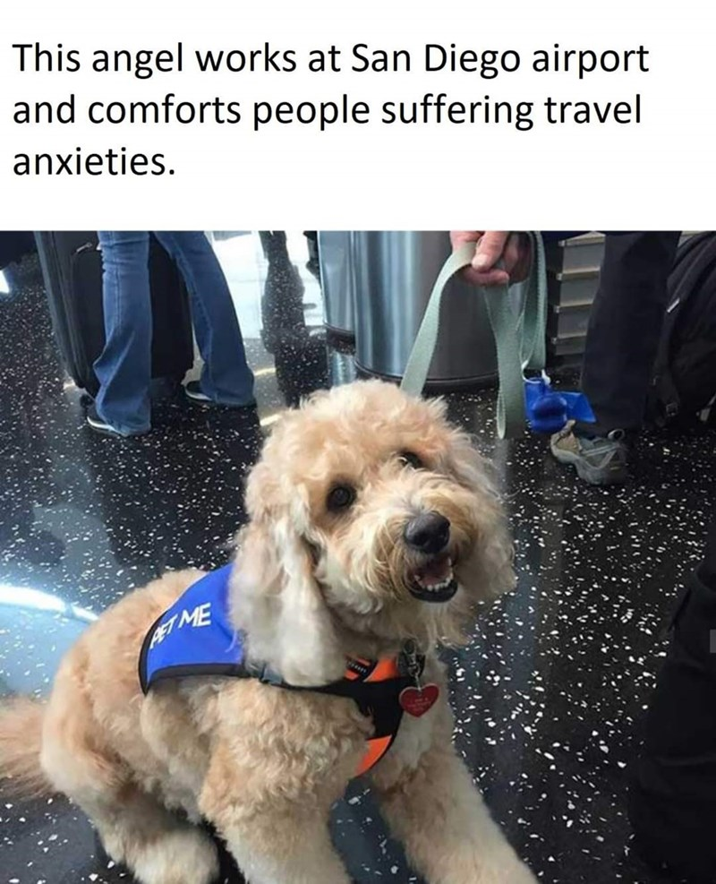 Dog - This angel works at San Diego airport and comforts people suffering travel anxieties. ET ME