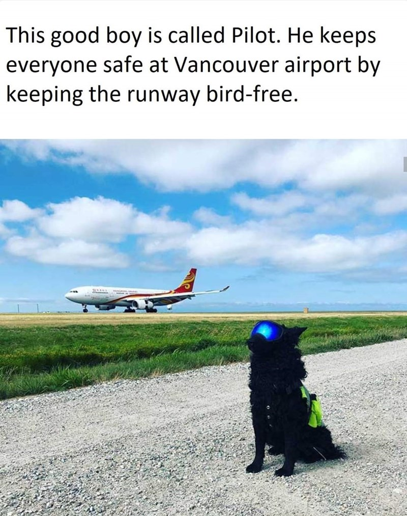 Air travel - This good boy is called Pilot. He keeps everyone safe at Vancouver airport by keeping the runway bird-free.