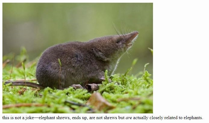 Masked Shrew - this is not a joke elephant shrews, ends up, are not shrews but are actually closely related to elephants.