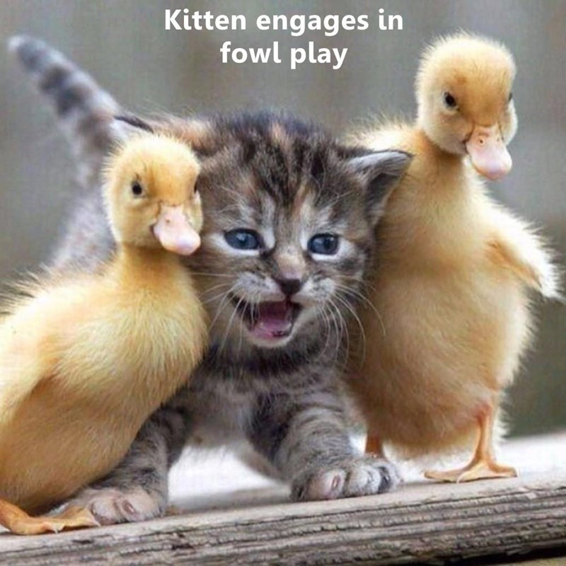 Vertebrate - Kitten engages in fowl play