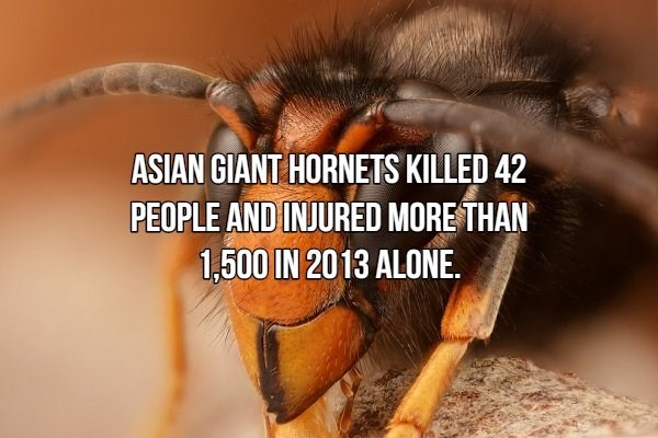 house fly - ASIAN GIANT HORNETS KILLED 42 PEOPLE AND INJURED MORE THAN 1,500 IN 2013 ALONE.